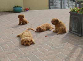 Stunning cavapoo puppies from health tested parents