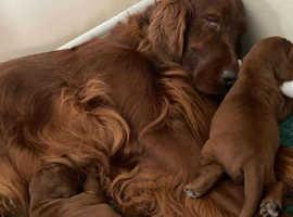 Beautiful irish setter pups