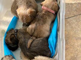 Cairn Terrier puppies Boys