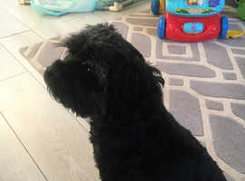 Great friend Cavapoo 4year old dog for rehoming
