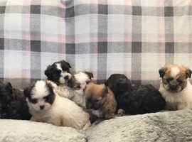 Immaculate imperial shih Tzu puppies