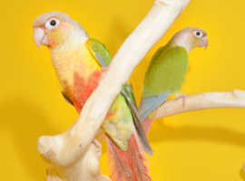 Baby pineapple Conure.3