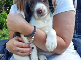 Springer spaniel puppies kc registered