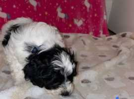 Cavapoo F2 puppies