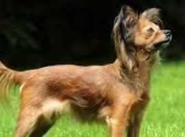 Looking for a Russian toy terrier WANTED!!