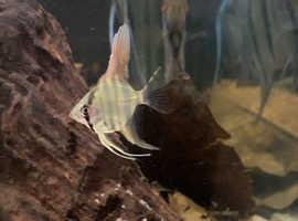 Stunning home bred Peru Altum angelfish (pterophyllum scalare).