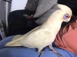Cockatoo parrot *Talking *
