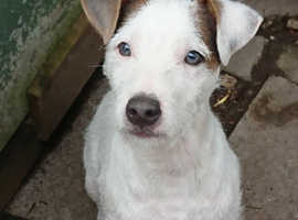 Four month old male pup, unusual blue merle colouring on his ears and blue eyes. He would suit farm life well.