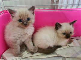 RARE MINK RAGDOLL KITTENS and blue point kittens