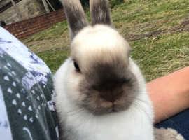 Beautiful Netherland dwarf rabbit