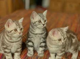 GCCF Registered BSH kittens