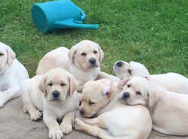 Amazing puppies fullbred Labradors golden