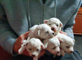 Our Bichon Frise litter