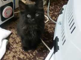 Black maine coon female kitten