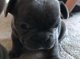 Beautiful French Bulldog puppy's for sale...