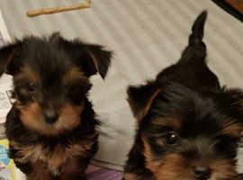 Yorkshire terrier puppies FULL PEDIGREE 2GIRLS