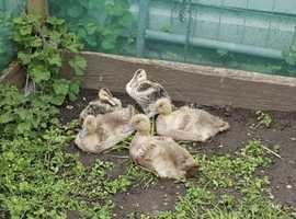 Dwarf Appleyard Ducklings