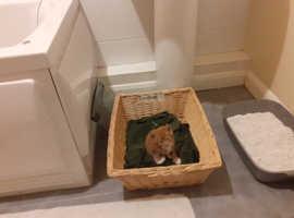 Burmeses kittins for sale
