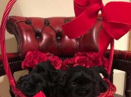 All blacks Shihtzus full pedigree puppy's