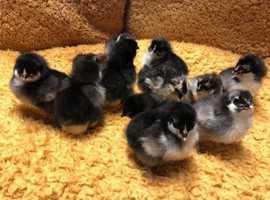 French Maran Chicks (unsexed)