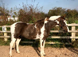 Danny Allrounder coloured pony