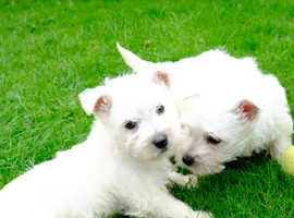 George and Henry the Westies