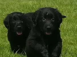 Black Flatcoat Retriever Puppies