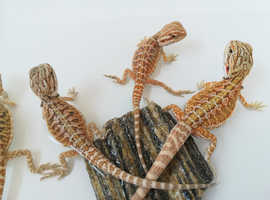 Baby bearded dragons for sale!!!