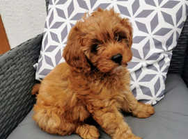 stunting 2 kc babies cavapoos available