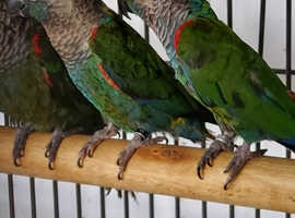 Stunning Pair of Pearly Conures available!!