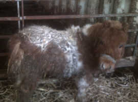 Miniature Shetland, Colt, Skewball Brown / White