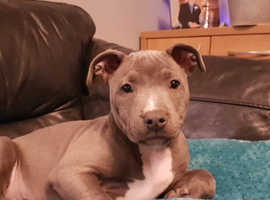 Male blue staff pup forsale