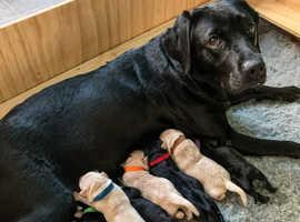 KC Reg Black & Fox red Labrador Puppies