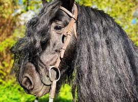 Outstanding cob mare.