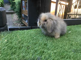 Mini lion lop baby rabbits