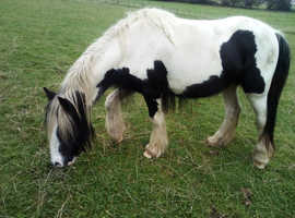 Black and white cob mare