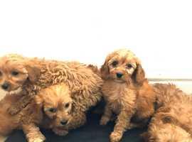 Fox Red Cavapoo puppies