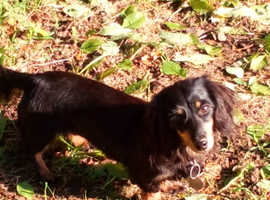 K.C. Miniature Long-haired dachshund