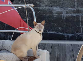 URGENT!!! MISSING......MALE Blue Point Siamese Cat.
