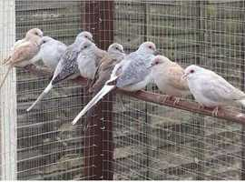 Diamond doves for sale