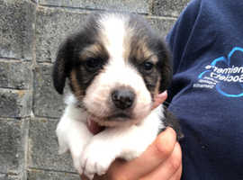 Gorgeous Beagle cross Jack Russell