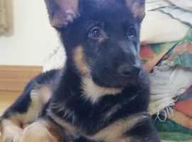 Pedigree German shepherd pups .