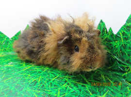 Guinea pig baby boars for sale