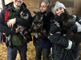Pet lambs looking for forever homes