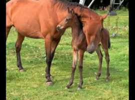 T/b mare with lovely Filly foal at foot