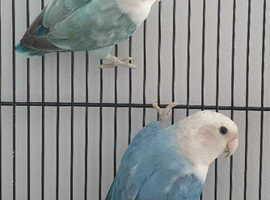 For Sale - Pair of Lovebirds