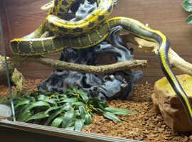 Rae Female Taiwanese Beauty snake
