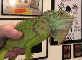 Iguana needs loving home (sold)