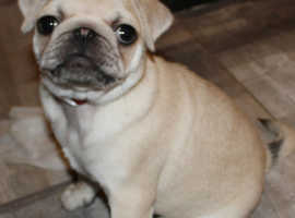Beautiful Fawn KC Pug READY NOW!