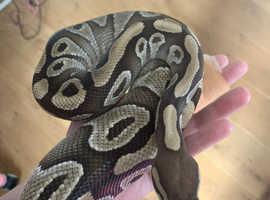 5yo Ball Python seeks loving home